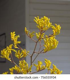 Decorative West Australian wildflower yellow  Kangaroo Paw anigozanthus  Bush Gem hybrid blooming in full splendour  in Bunbury Western Australia in spring  is a splendid tourist attraction.