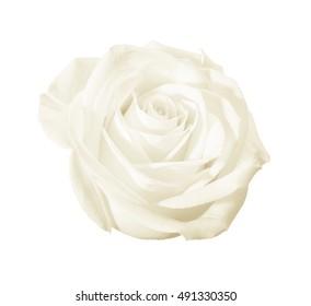 Decorative white flower (rose) closeup isolated on white background or backdrop.