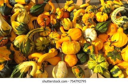 Decorative zucchini in the morning autumn sun