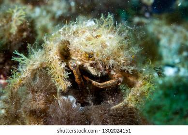Decorator Crab Mimicry