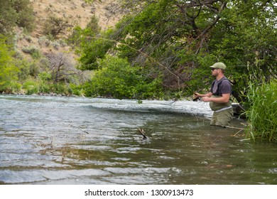 Dedicated fly fisherman works the banks of the river with a grassy shoreline on the Lower Deschutes while fly fishing for native redside rainbow trout.