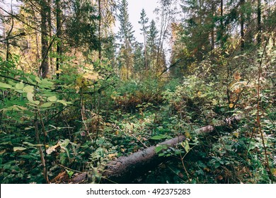 Deep autumn forest with warm sunlight on green foliage. Wilderness thicket woods landscape with rich vegetation on tree trunk. Deep autumn forest. Moss cover log in forest woods. Thicket forest nature