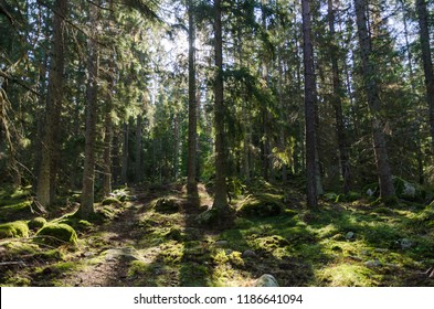In a deep backlit green coniferous forest