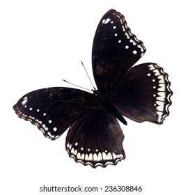 A deep black butterfly with brilliant blue spots on its wings and body and an orange on white background isolated