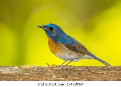 Deep blue of Chinese Blue Flycatcher(Cyornis glaucicomans) in nature