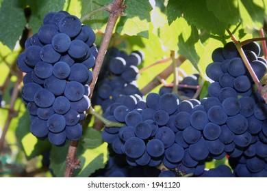 Deep blue clusters of ripe Pinot Noir grapes