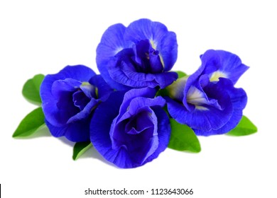 Deep blue purple butterfly pea flowers on leaves, isolated on white background