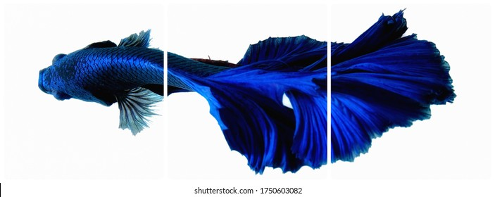 Deep blue Siamese fighting fish on white background for abstract art concept.