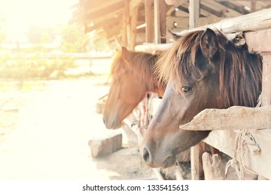 Deep brown horse inside wooden stables in morning summer.