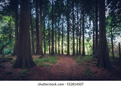 deep dark wood / forest filled with multiple trees and pine. Idless in Cornwall england uk, near truro.