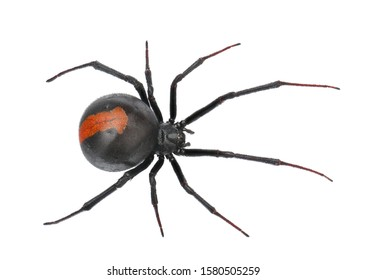 Deep focus of Black Widow Spider / red back spider isolated on White Background