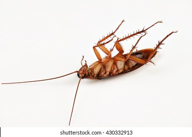 Deep focus of dead cockroach on white background