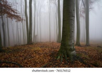 Deep forest in fog, Little Carpathian, Slovakia, Europe