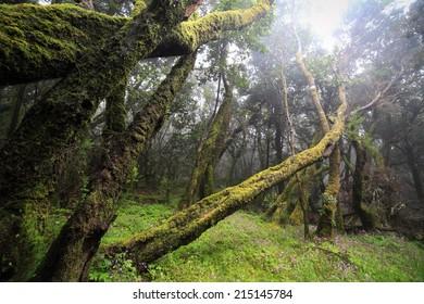 Deep forest in Garajonay National Park on La Gomera, Canary Islands (Las Islas Canarias). Nature background.