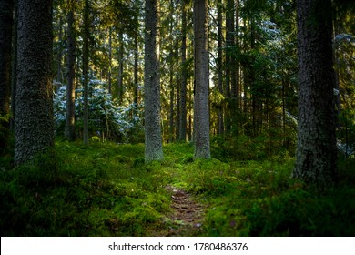 Deep forest hiking trail view. Woodland forest trail. Mossy ofrest in woodland. Woodland forest