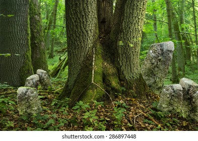 Deep forest with old massive triple tree and rocks