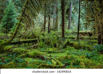 Deep forest in Olympic National Park