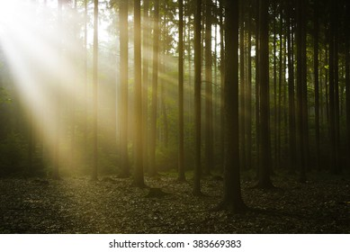 Deep forest with sun rays in the evening