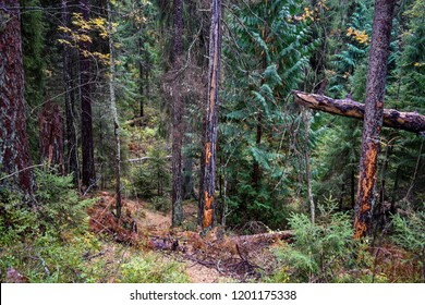 Deep forest thicket background. Autumn forest grove of larch trees view. Deep forest thicket scene