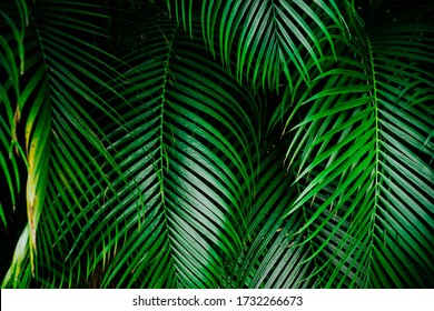 Deep green palm tree leaf background. High resolution image of the tropical greens.