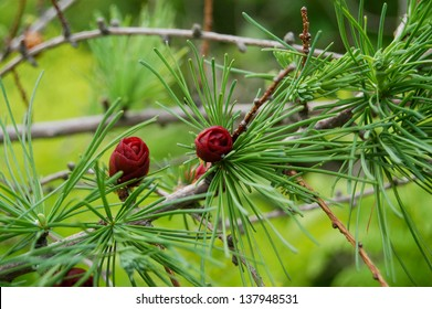 Deep maroon cones contrast with the fresh green needles on a tamarack (Larix laricina) branch in spring in Nova Scotia.