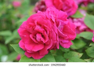Deep pink Hybrid Perpetual rose (Rosa) Captain Hayward blooms in a garden in June