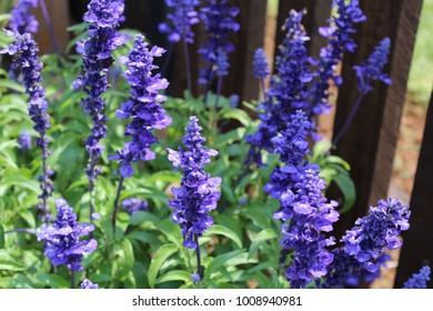 Deep Purple Flowering Salvia Bush