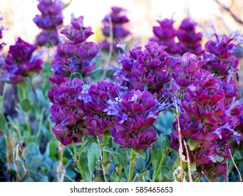 Deep purple Mojave Sage  (Salvia pachyphylla) often called purple sage, found in Big Bear in  the San Bernardino Mountains, California.