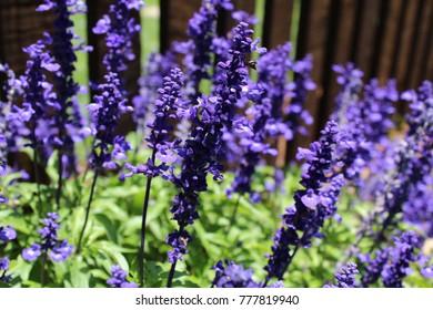 Deep Purple Salvia Sage Growing in the Garden