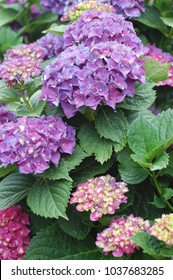 Deep purpled pink hydrangea growing in garden.