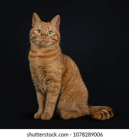 Deep red European Shorthair / street cat sitting straight isolated on black background looking at camera