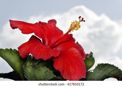 Deep red hibiscus flower with green leaves and clouds in the background.