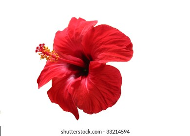 deep red hibiscus isolated in white background