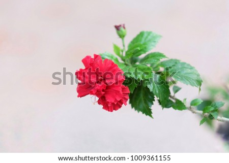 Deep Red Hibiscus On Pastel Background Stock Photo Edit Now