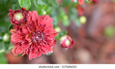 Deep red mum / Chrysanthemum flower wet from a rain storm