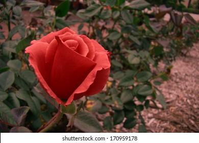 Deep Red Rose