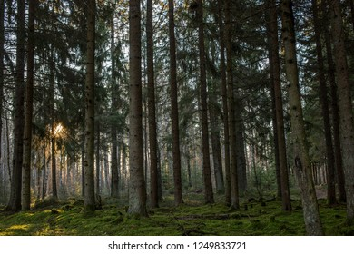 A deep Scandinavian forest with a sun flare in the background