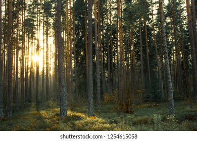 A deep scandinavian forest with a sunset in the background