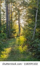 Deep Scandinavian woods on a late summer evening.