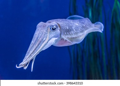 The deep sea (undersea) Pharaoh Cuttlefish (Sepia pharaonis) can grow up to 5 kg (11 pounds).  It is a cephalopod, related to squids and octopus. Underwater photography.