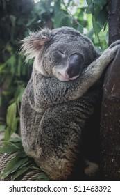 Deep sleep koala