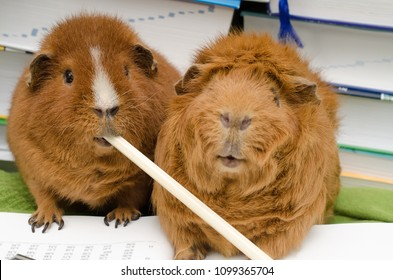 deep thought guinea pigs