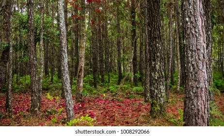 Deep trees forest and ferns with red maple during fall at Phukradueng National Park, Loei, Thailand.
