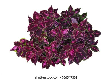 Deep violet leaves with bright green rim of tropical garden Coleus bush (painted nettle or poor man's croton) isolated on white background, clipping path included.