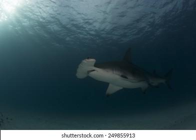 In Deep Water we see a Great Hammerhead Shark from Bimini, Bahamas