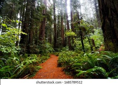 Deep in the woods of California Redwoods