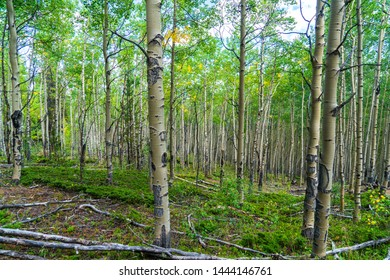Deep in the woods of a lush green summer Aspen Tree forest in Colorado