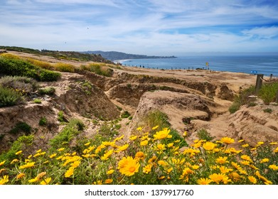 Deeply eroded cliff tops at Torrey Pines brightened by yellow Sea Dahlias