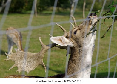 deer animal eating leafs from a tree in captivity