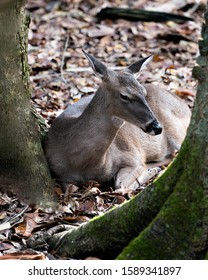 Deer animal White-tailed dear close-up profile view resting on the ground with  background, displaying head, ears, eye, mouth, nose, legs, brown fur in its surrounding and environment.